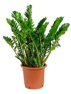 Zamioculcas zamiofolia tuff 34cm V100