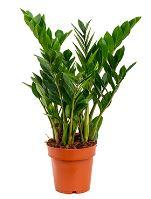 Zamioculcas zamiofolia 6/tray 17cm  V65