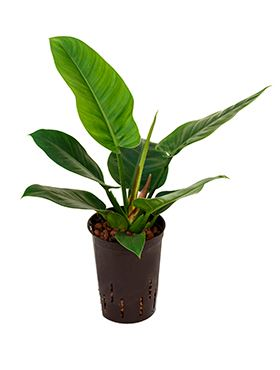 Philodendron imperial green 15/19 V55